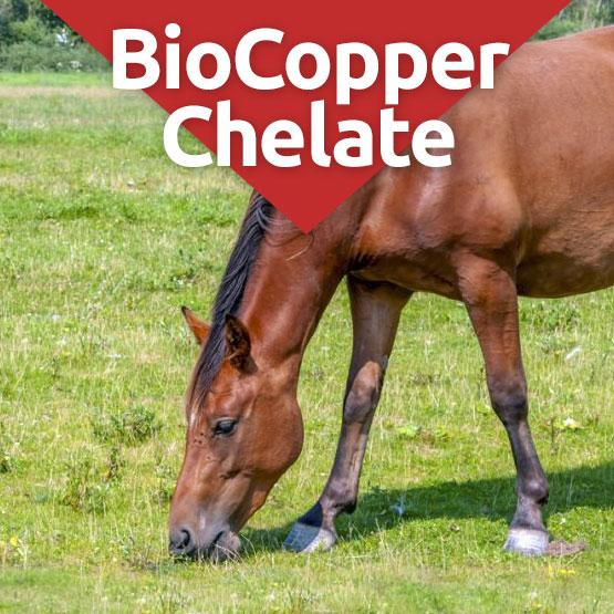Biocopper Chelate Supplement for horses