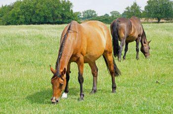 In-Foal Mares